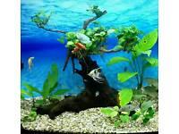 FOR SALE AQUARIUM TREE WITH LIVE ANUBIAS PLANTS