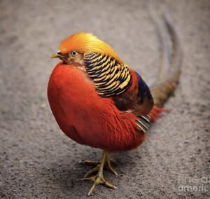 Wanted golden pheasant