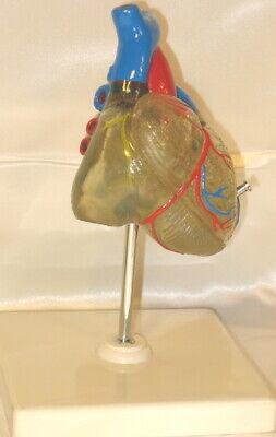 Transparent Heart Anatomy Medical Anatomical Model Life Size Teaching Student
