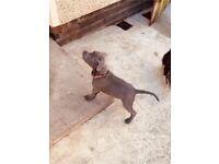 Kc reg Blue staffy male pup for sale