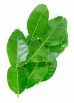 Fresh Kaffir Lime Citrus Hyst Large Leaves Gourmet Herbs Hand Picked When Order