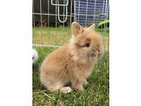 lionhead rabbit & Hutch