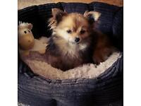 Pomeranian 9 months old