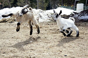 cheve naine et miniature a vendre/ baby goats  for sale