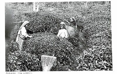 India,Ceylon,Young Girl Picking Tea Leaaves,Ethnic,c.1930s