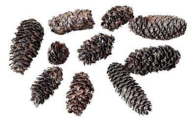 25 kleine Zapfen Kieferzapfen gold beglimmert Weihnachten basteln 2-4,5cm