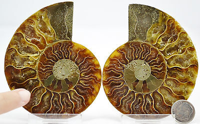 "Split Pair Ammonite GREAT Crystal Cavity 89mm XLARGE 3.5"" Fossil 110myo e2698x"