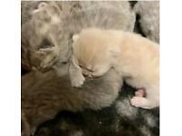 Adorable BSH kittens