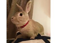 Lovely Rabbit /neutered
