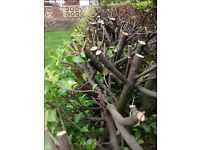 Hard Pruning of Laurel Hedges / Tonbridge - Hildenborough - Southborough