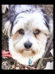 """Maltese/Shih Tzu"" Male Moonah Glenorchy Area Preview"