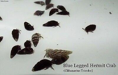 100 Live Saltwater Blue Leg Crabs 100 Nassarius Snails Cleaning Crew