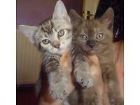2 Female kittens for sale Witney £80