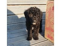 Labradoodle f1b READY NOW double vaccined