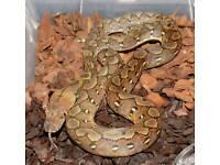 Dwarf (super) reticulated python