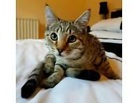 3/4 Bengal kitten for sale