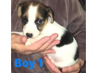 Jack Russell puppies for sale.
