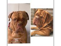Stunning Dogue De Bordeaux puppies