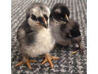 Ohiki pekin Bantam chicks £25 for pair