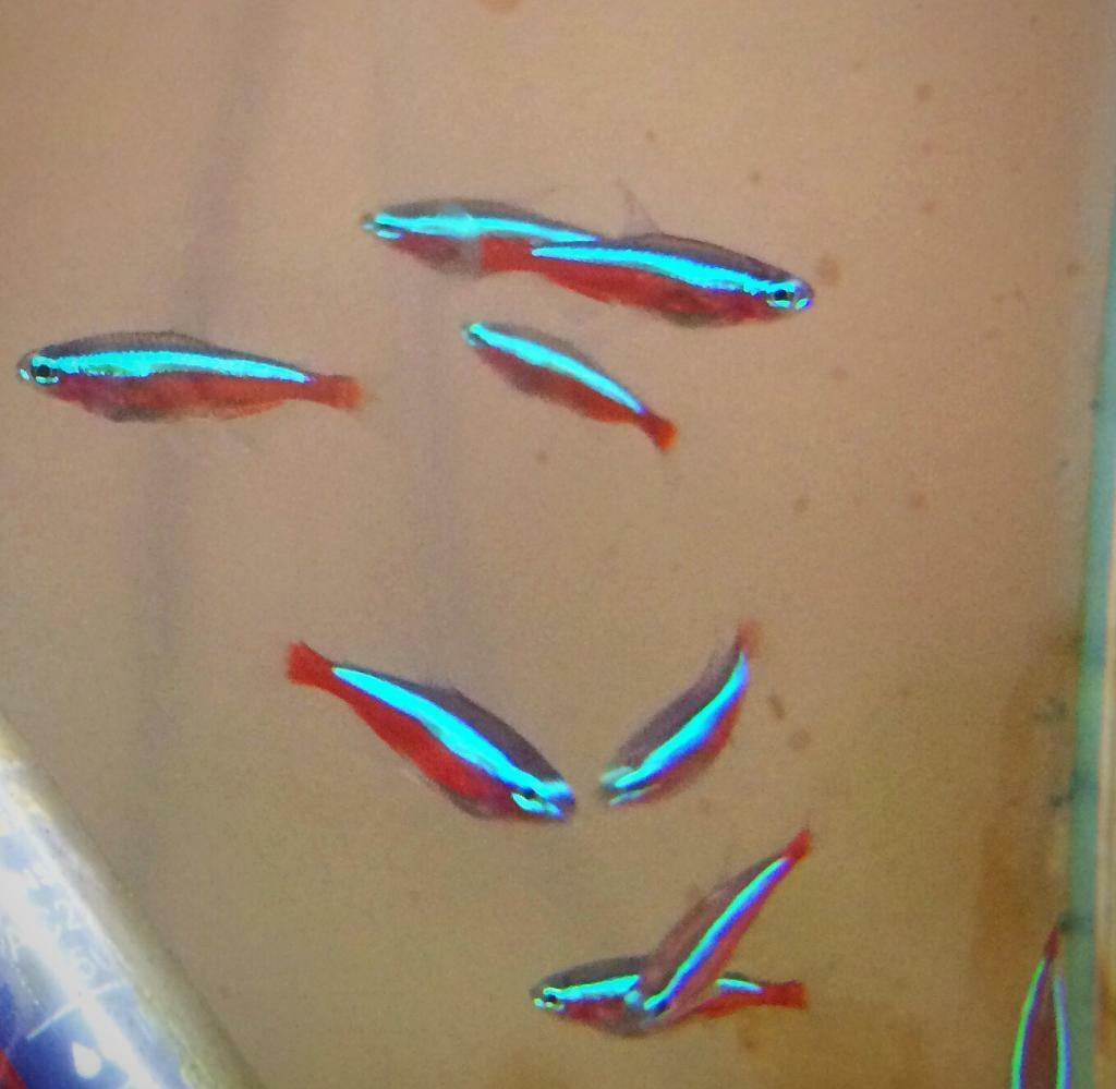 Cardinal tetra peaceful community tropical fish