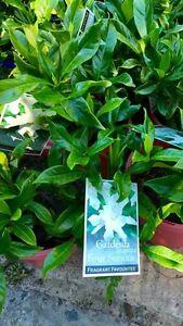 Gardenia.assorted.grower direct.best value. Swanbourne Nedlands Area Preview