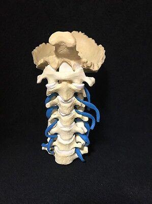 Sawbones Cervical Vertebrae Anatomical Model With Nerves Cervical Spine