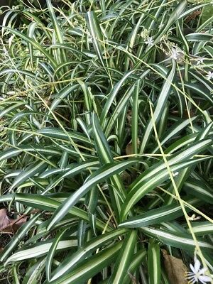10 Variegated Baby Spider / Airplane Live Plant Lot