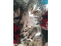 Lovely female tabby kitten