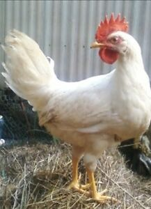 Young White Leghorn Roosters
