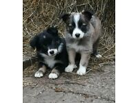 farm-bred collie puppies