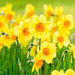 DaffodiLshop88