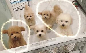 3 toy poodle puppies left and READY TO PICK UP !