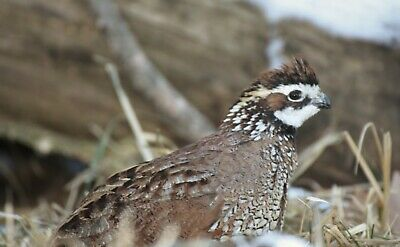 100 Northern Bobwhite Quail Eggs