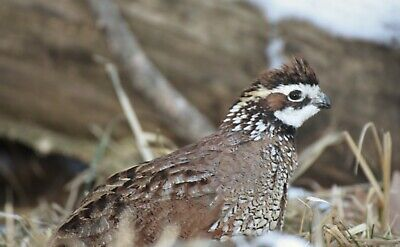 300 Northern Bobwhite Quail Eggs