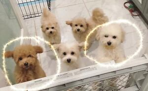 ONLY2 toy poodle puppies left and READY TO PICK UP !
