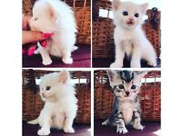 Adorable kittens seek loving forever homes Ragdoll/British Shorthair Cross