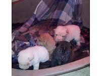 Stunning kc Sharpei puppies