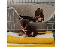 Beautiful Quality Puppies