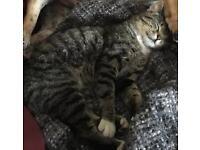 Tabby cat - Male