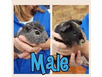 2x baby male guinea pigs