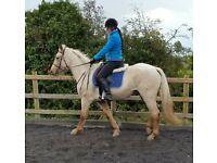 Palamino horse, Pony