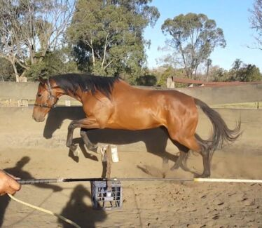 Project horse OTT Thoroughbred mare all reasonable offers