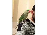 Hand tame male Alexandrine parrot for sale