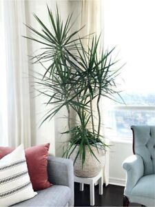 7.5' high Dracaena house plant. $160 from Plant world last year