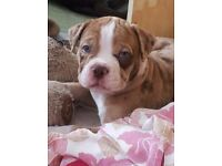 Gorgeous alapaha blue blood bulldogs pups free to a good home
