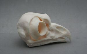 Eagle-Owl-Bird-Skull-Replica-Taxidermy-Study-Unusual-Gift-Ornament-Bird-of-Prey