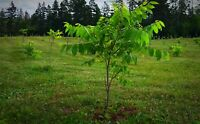 Grow your own edible nuts! PEI Black Walnuts!