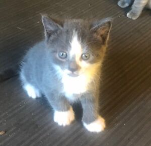 Scottish Fold kittens x Russian Blue Kitten