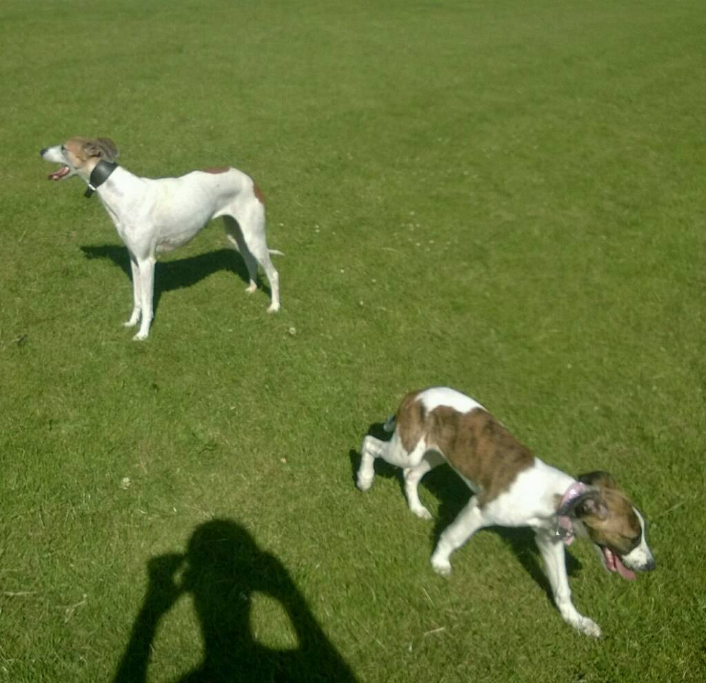 Brindle and white collie whippet saluki greyhound bitch pup | in Durham,  County Durham | Gumtree