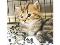 MAINE COON X KITTENS only 1 girl available now to reserve